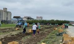 군위읍새마을지도자회, 사랑의 감자수확